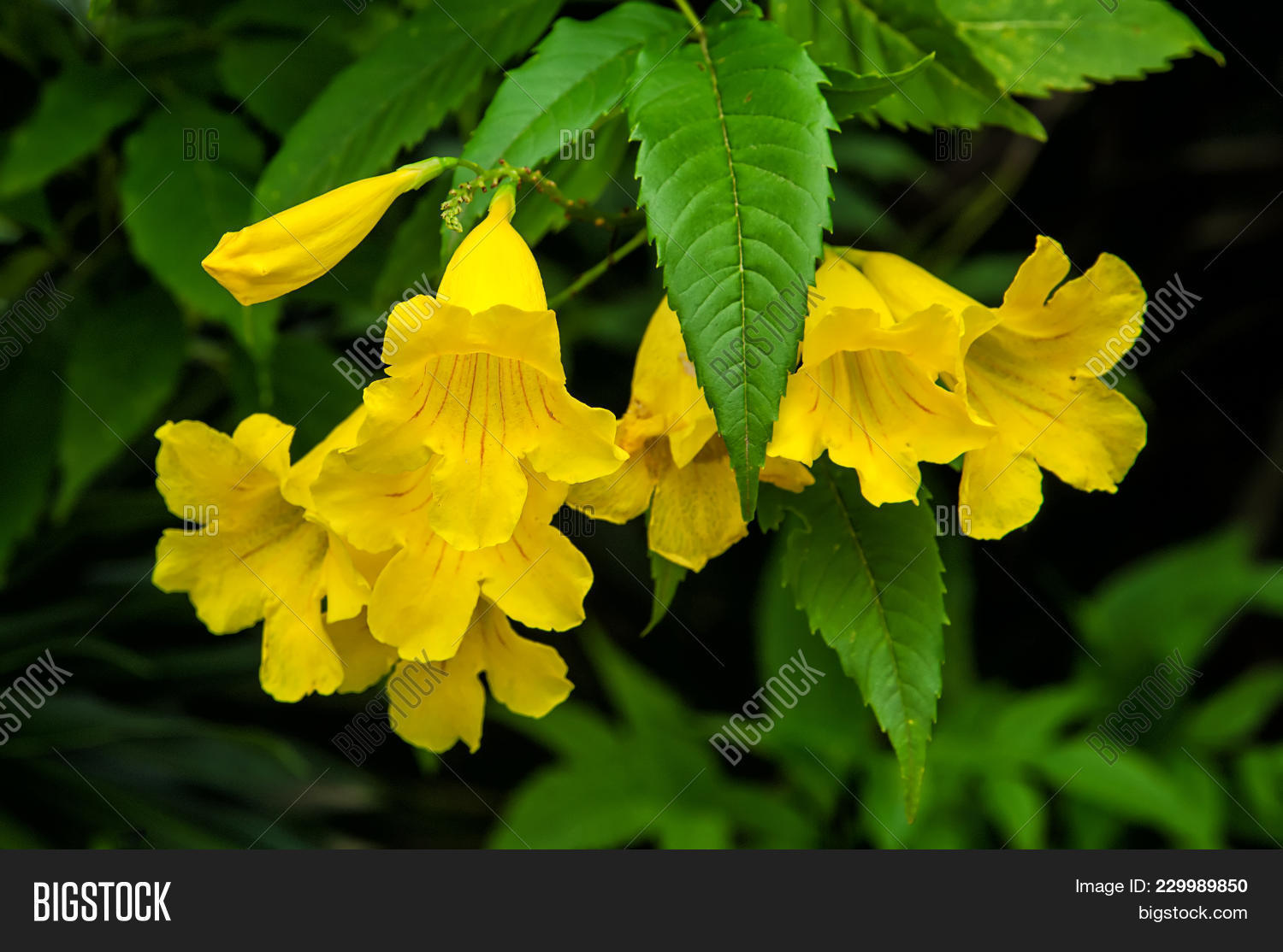 Yellow Elder Yellow Image Photo Free Trial Bigstock