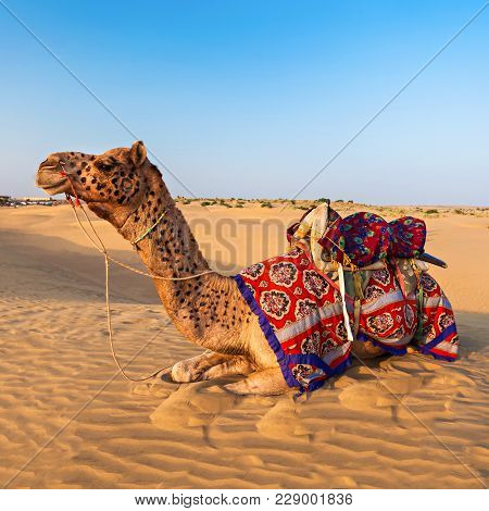 Camels In Thar Desert, Jaisalmer City In Rajasthan State Of India