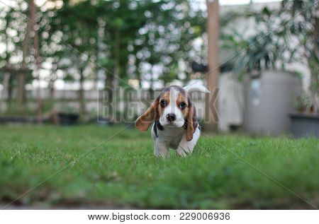An Adorable Tricolor Beagle Is Running In The Garden Which Has Beautiful Green Grass Under Sunlight