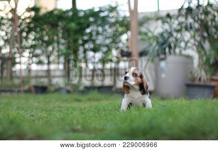 An Adorable Tricolor Beagle Is Sitting In The Garden Which Has Beautiful Green Grass Under Sunrise I