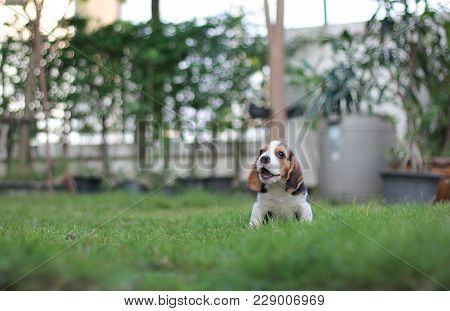 Adorable Tricolor Beagle Is Sitting In The Garden Which Has Beautiful Green Grass Under Sunrise In T