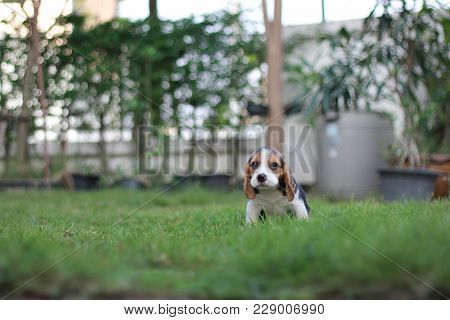 Cute Tricolor Puppy Beagle Is Sitting In The Garden Which Has Beautiful Green Grass Under Sunrise In