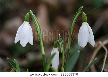 Detail Of The Purification Flower - Snowdrop