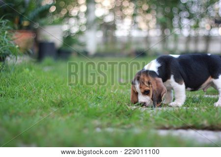 An Adorable Tricolor Beagle Is Playing In The Garden Which Has Beautiful Green Grass, Feel Natural.
