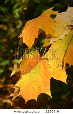 A Closeup Of A Yellow Maple Tree In Autumn
