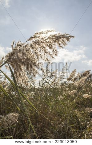 Reed, River Vegetation, Protection Of The Environment And Ecology