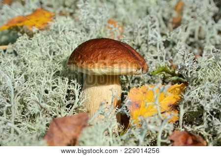 Big Brown Cup Mushroom Growing In Gray Moss