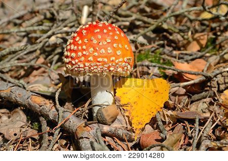 Red Poisonous Fly Ageric Mushroom Also Known As Amanita Muscaria Or Fly Amanita In Autumn Forest