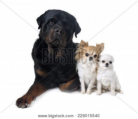 Chihuahua And Rottweiler In Front Of White Background