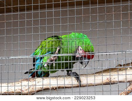 The Green Parakeet Parrot Sits On A Pole In A Cage In A Zoo With Inclined The Head And Pad Holds A C