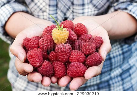 Closeup Of Woman Holding In Hands Freshly Picked Raspberries In Garden Outdoors, Free Space. Ripe Re