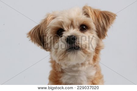 Mixed Brown Dog Portrait In The Studio