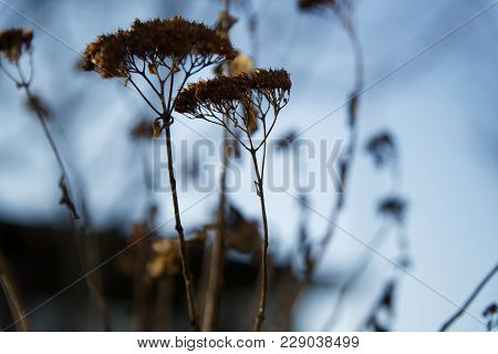Dry Ammi Flowers In The Garden In Winter Season Selective Focus.