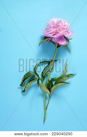 Cerise Pink Peony Flowers On The Blue Paper Background