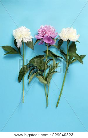 Cerise Pink And White Peony Flowers On The Blue Paper Background