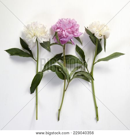 Cerise Pink And White Peony Flowers On The Wooden White Table