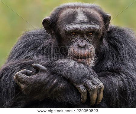 Chimpanzee Xxx