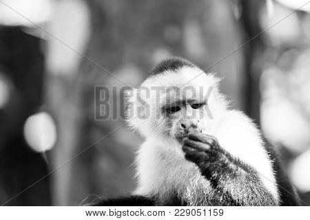 Capuchin With White Head Fur. Primate In Jungle On Sunny Day. Wildlife And Nature Concept. Wild Anim
