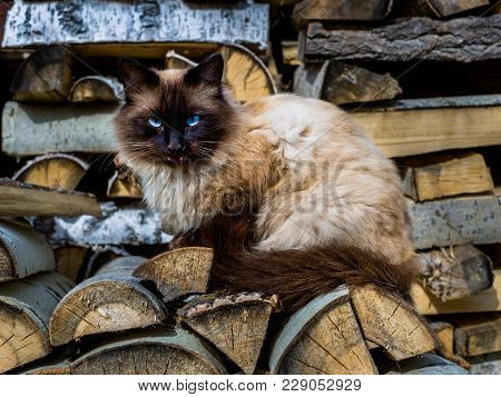 Beautiful Fluffy Cat In The Yard. Angry Cat With Blue Eyes Showing The Grin.