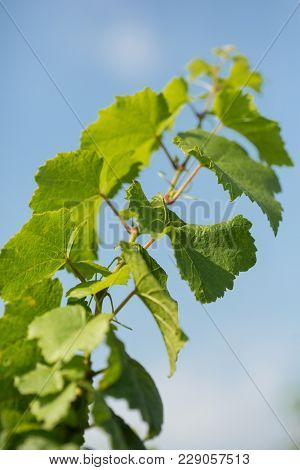Vine With Green Leaves Against The Blue Sky, Close-up