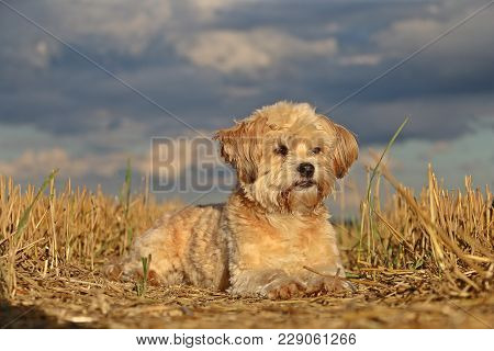 Small Brown Dog Is Lying In The Stubble Field