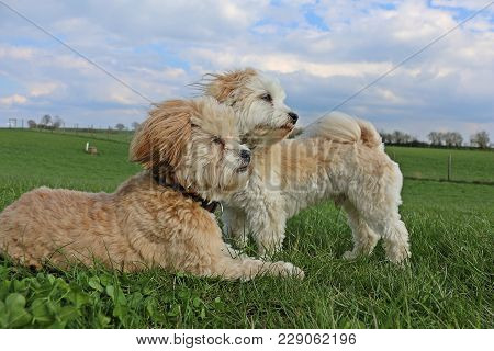 Two Small Havanese In The Park After The Party