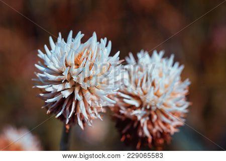 Flower Of White Clover. Stylized Clover Flower In Red Tones.