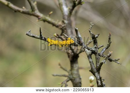 Close-up Of Lichen On A Tree. Lichen On A Branch. Yellow Lichen On Branches.