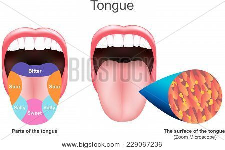 The Tongue Also Serves As A Natural Means Of Cleaning The Teeth.it Is Of Importance In The Digestive