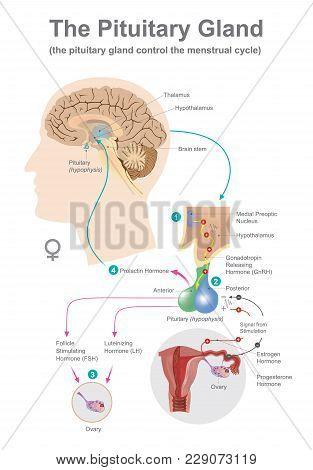 The Pituitary Gland. Anatomy Human. Info Graphic.