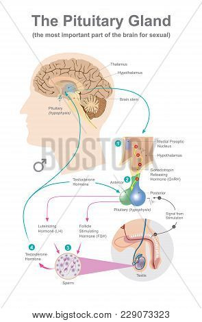 The Pituitary Gland. Anatomy Human. Info Graphic.