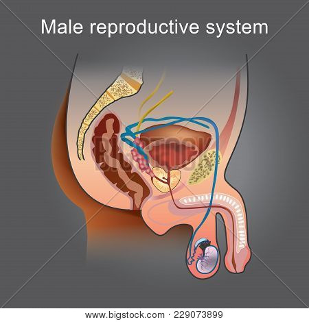 The Male Reproductive System Consists Of A Number Of Sex Organs That Play A Role In The Process Of H