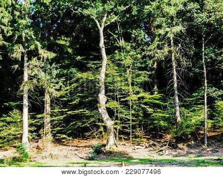 Bendy Tree In The Woods On A Summers Day