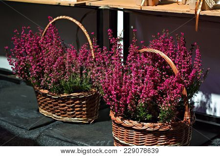 Heather Flowers In A Wicker Basket. Purple Heather In The Wattle Basket.