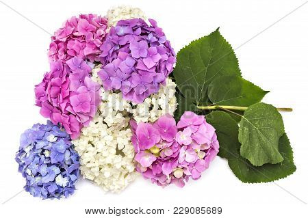 Beautiful Pink, Whire, Purple And Red Hydrangea Flowerheads, Hydrangea Macrophylla, Isolated On Whit