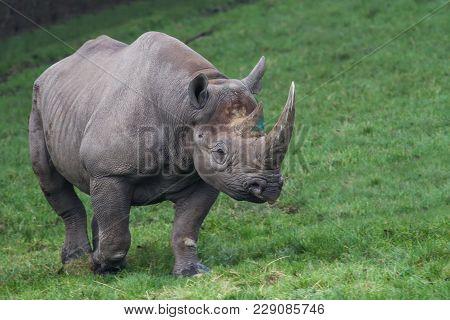 Photo Of A Beautiful Black Rhino Walking On Grass