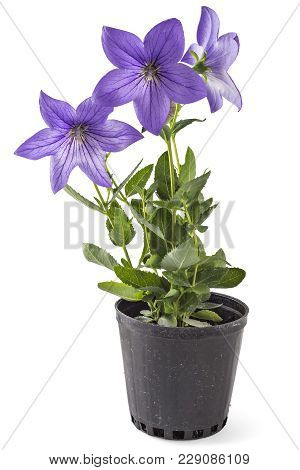 Violet Flower Of Platycodon, Platycodon Grandiflorus, Or Bellflowers In Flower Pot, Isolated On Whit