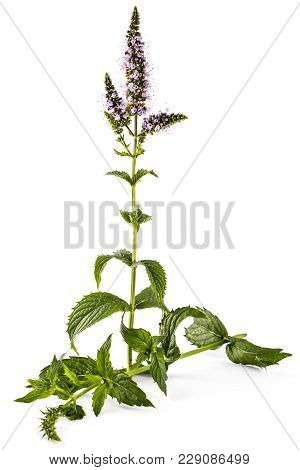 Fresh Young Spearmint Plant With Flowers Isolated On White Background. Mentha Spicata. Spearmint Gre
