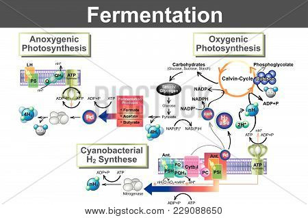 Fermentation Is A Metabolic Process That Converts Sugar To Acids, Gases Or Alcohol. It Occurs In Yea
