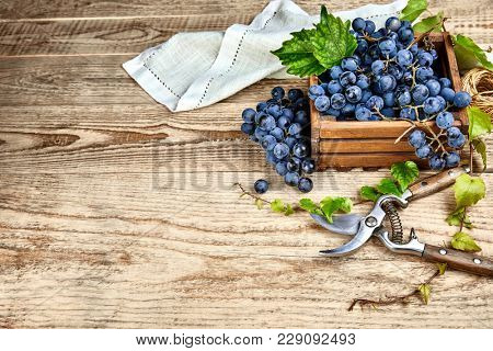 Blue grapes in box with willow green leaf and pruner on old wooden board rustic style. Top view and copyspace.