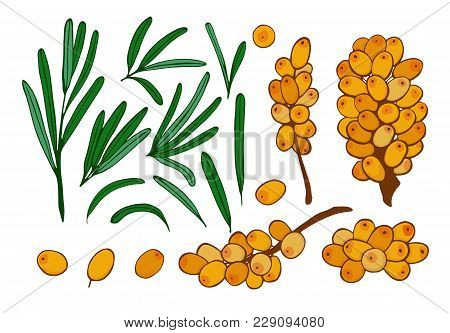 Isolated Berries, Twigs And Leaves Of Sea Buckthorn. Vector Set Seaberry