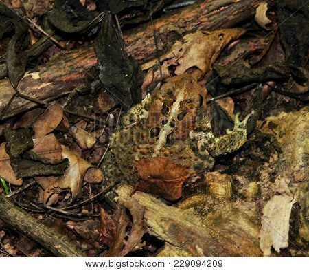 American Toad Hidden In Leaves On Forest Floor