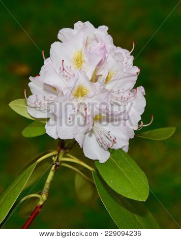 White Rhododendron Flower Cluster With Green Leaves
