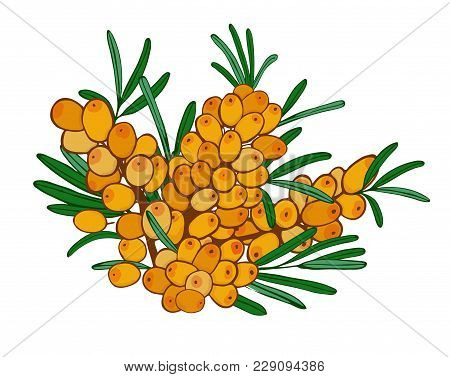 Isolated Branch Of Sea Buckthorn With Ripe Orange Berries. Vector Seaberry