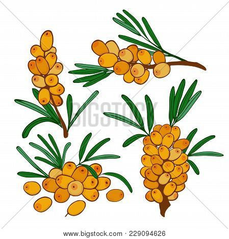 Set Of Isolated Branches And A Cluster Of Sea Buckthorn. Vector Seaberry