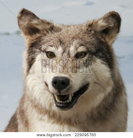 A Portrait Of An Angry Arctic Wolf, Canis Lupus