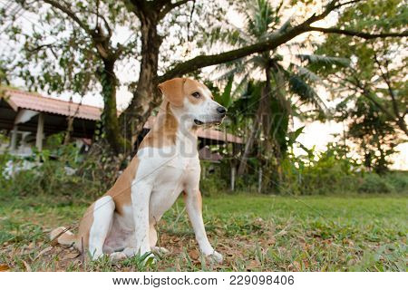 Brown And White Cute Puppy Sitting Down With Green Grass Background