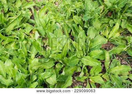 Culantro, Long Coriander, Sawtooth Coriander, Parsley On The Soil In The Vegetable Garden
