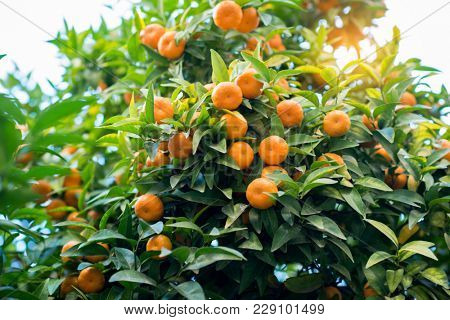 Mandarin tree with ripe fruits. Mandarin orange tree. Tangerine. Branch with fresh ripe tangerines and leaves image. Satsuma tree picture, soft focus. Oranges.