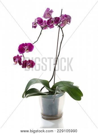 Purple colored orchid in flower pot isolated on white background.